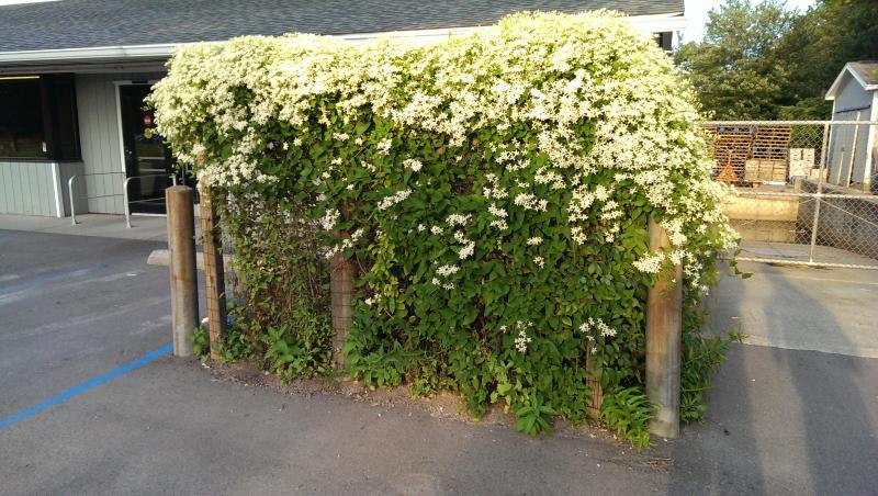 This is the Paniculata var. Clematis vine in front of the store.