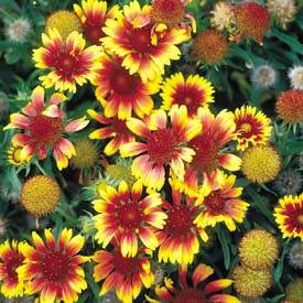 Blanket Flower 'Goblin'