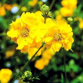 Yellow Geum