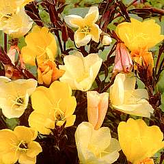 Evening Primrose, Apricot Beauty