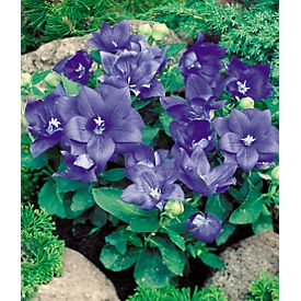 Double Blue Balloon Flower