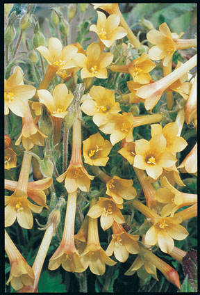 Yellow Jacob's Ladder 'Sulphur Trumpets'