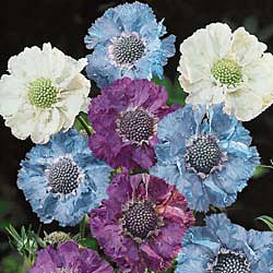 Pincushion Flower, House Hybrids
